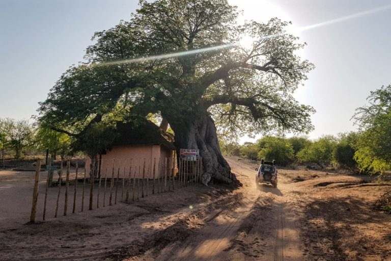 Baobabs tell of an ancient African past